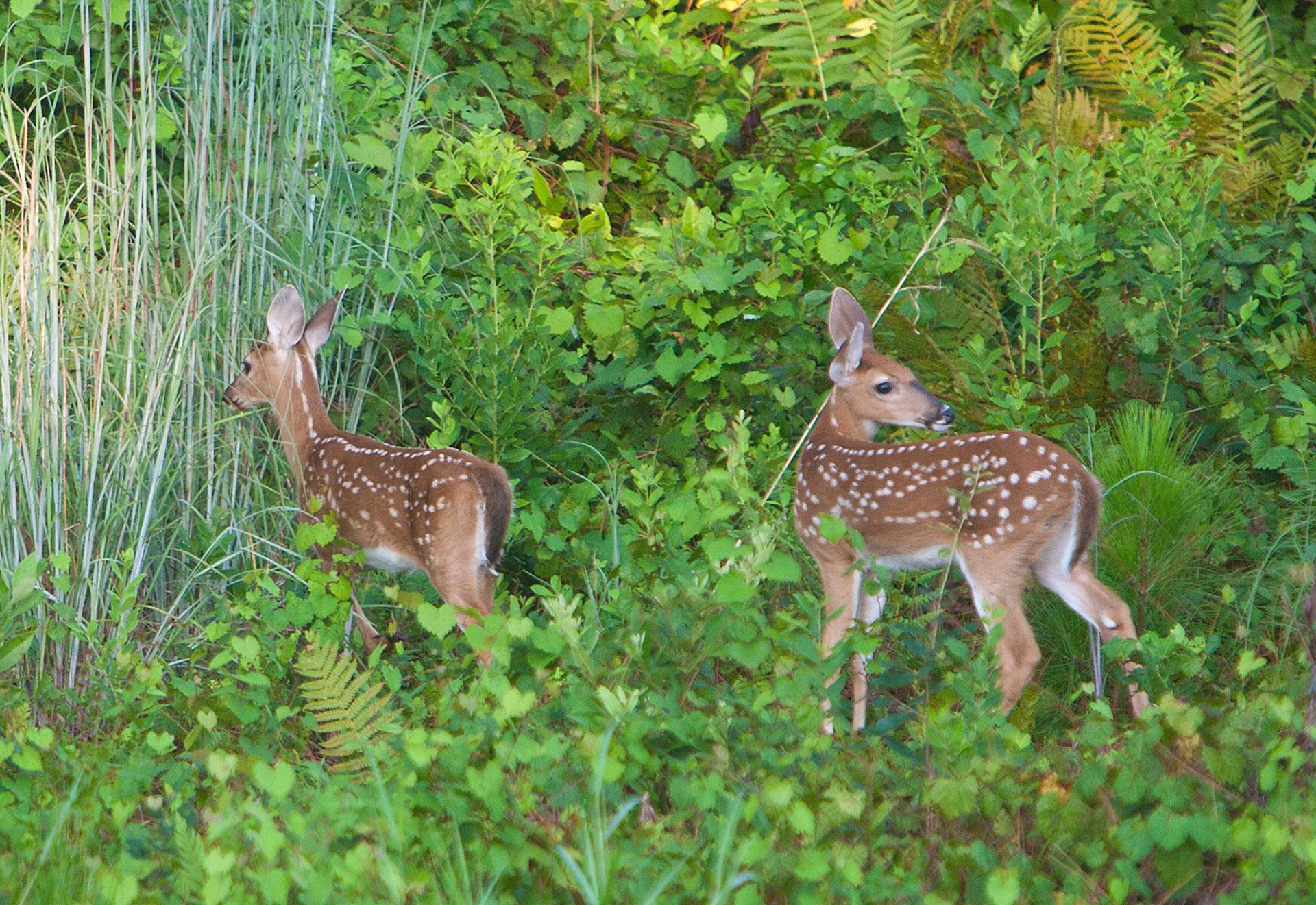 Slide two deer woods